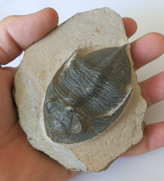 Trilobite Fossil from Morocco. 85mm Zilchovaspis rugosa.