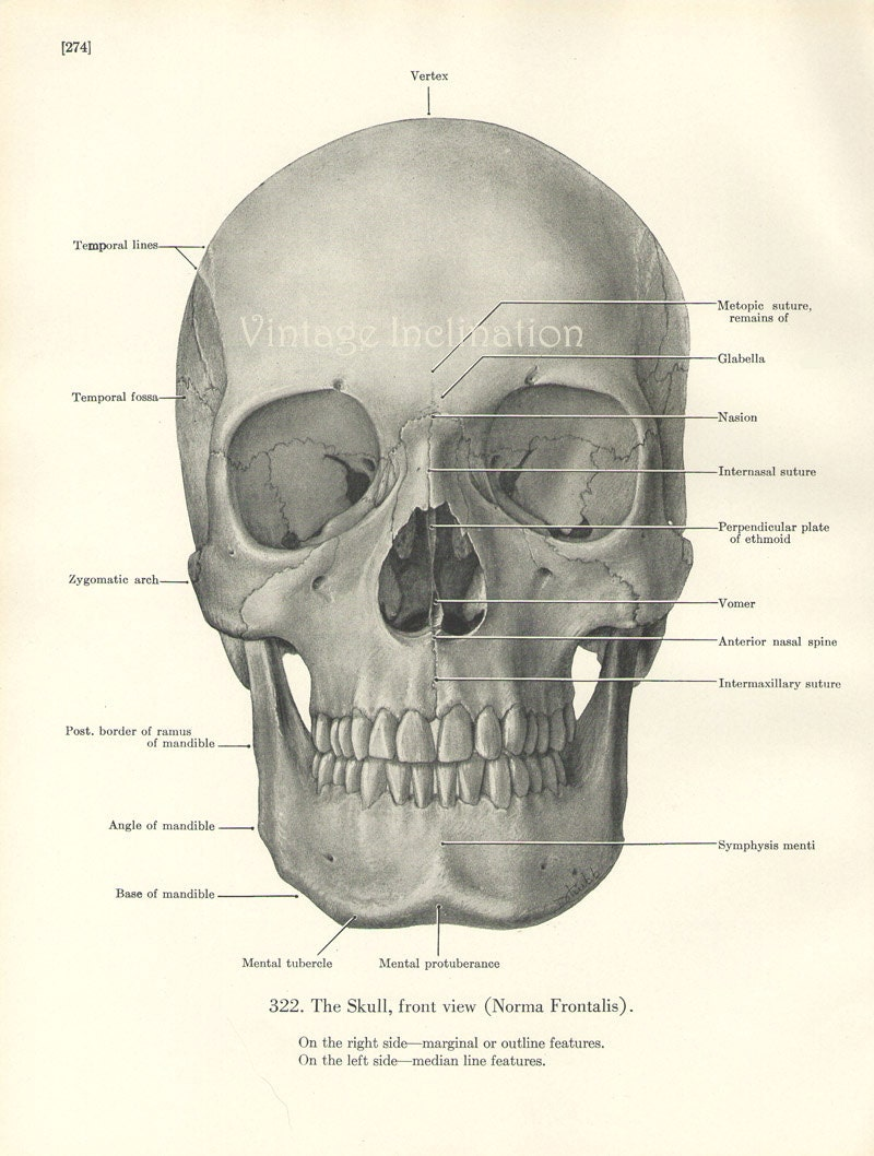 Human Skull Frontal View | www.imgkid.com - The Image Kid ...