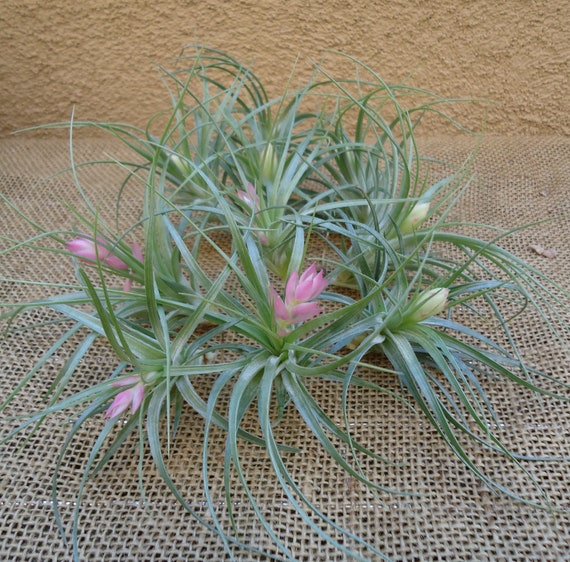 10 Pack Tillandsia Stricta Air Plant SALE FREE SHIPPING