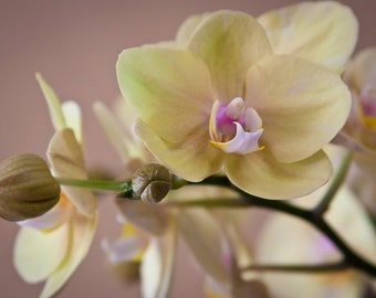 "Flower Photography, ""Pale Orchid"", Nature Photography, Orchid Photo, Fine Art Wall Decor, Customizable Print Sizes"