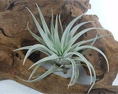Tillandsia Air Plant -Harrisii Flowering Plant with Soft Leaves.