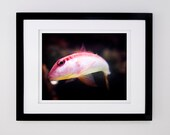 SALE 8x10 Pink and Red Swimming Fish Photograph Giclée Print