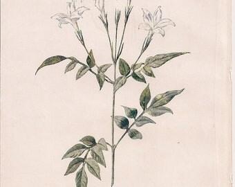 Original Victorian Chromolithograph Floral Picture print c.1900 - Jessamine