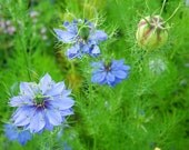 Nigella Flower Seeds Blue Love-in-a-Mist Flower Seeds Wildflowers Fresh 2015 Seeds Dried Flowers Cut Flowers Cottage Garden Flowers