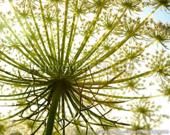 8x10 Nature Photograph -- Flowering Queen Ann's Lace from Another Perspective
