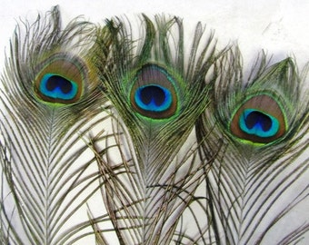 Large Peacock feathers (12)