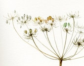 Queen Anne's Lace, Giant Hogweed Painting, Fine Art Print from original watercolor, fine delicate autumn flower painting, brown