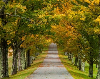 Trees In a Row -  Nature photography, landscape photography, fall, autumn, fine art print, leaves, new england