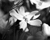 Petals in the Garden, black and white flower photography