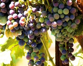 Vineyard Grapes Photography, Multicolored Wine Grapes Photo Purple Red Green Grapes Leaves 84