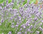 Lavender flower photo, Botanical Print, lavender and green cottage wall art, fine art nature photography
