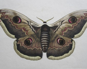 Antique Moth Engraving from 1850- Owl Moth by J.C. Kayser
