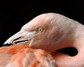 Flamingo, Fine Art Photography, Bird Photography, Nature Photography