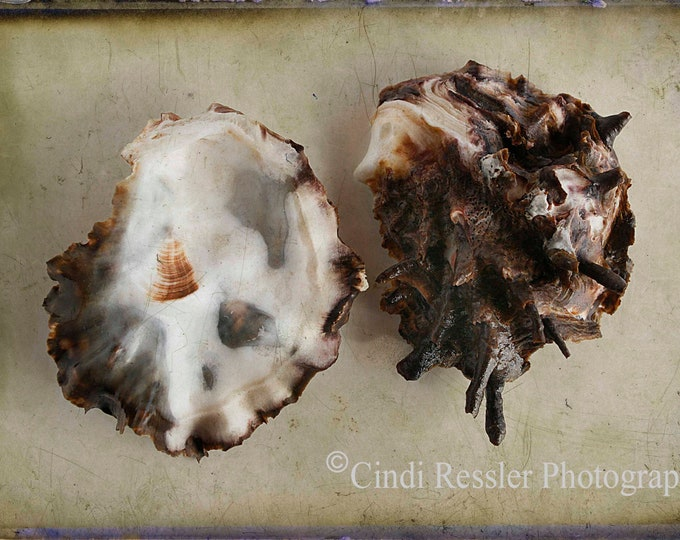Oyster, Still Life Photography, Photography, Beach Photography, Nature Photography, Seashell Photography