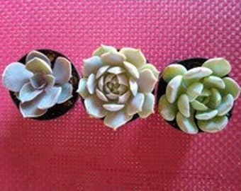 Succulent Plants - Trio of Succulents