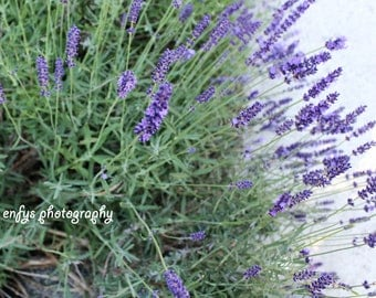 Nature Photography - Fine Art Print - Dreamy Lavender Peaceful, Soft, Pale Purple, Green, Natural Wall Art
