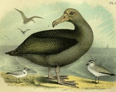 1881 Antique lithograph of BIRDS of NORTH AMERICA by Jacob Studer. Water Birds. Albatross, Gull, Plover. 136 years old gorgeous print.