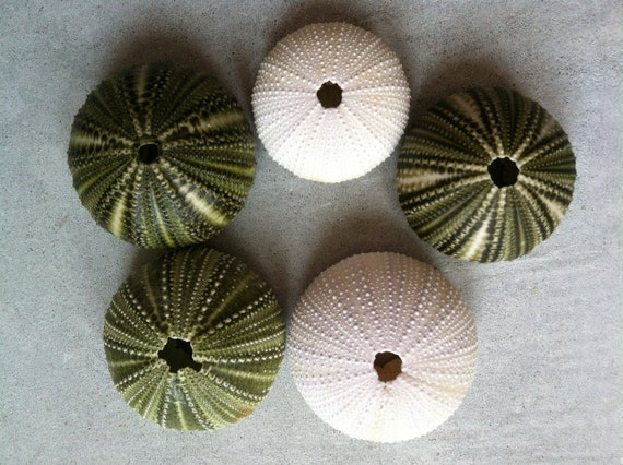 FS in the USA 3 Medium Green and 2 White Beach Found Sea Urchins (lot 248)