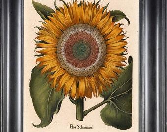 BOTANICAL PRINT Besler 8x10 Botanical Art Print 31 Beautiful Large Yellow Sunflower Summer Nature Antique Writing to Frame