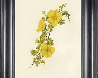 ROSE BOTANICAL PRINT 8x10 Art Print 11 Willmott Beautiful Yellow Foetida Rose French Country Garden Home Wall Decoration