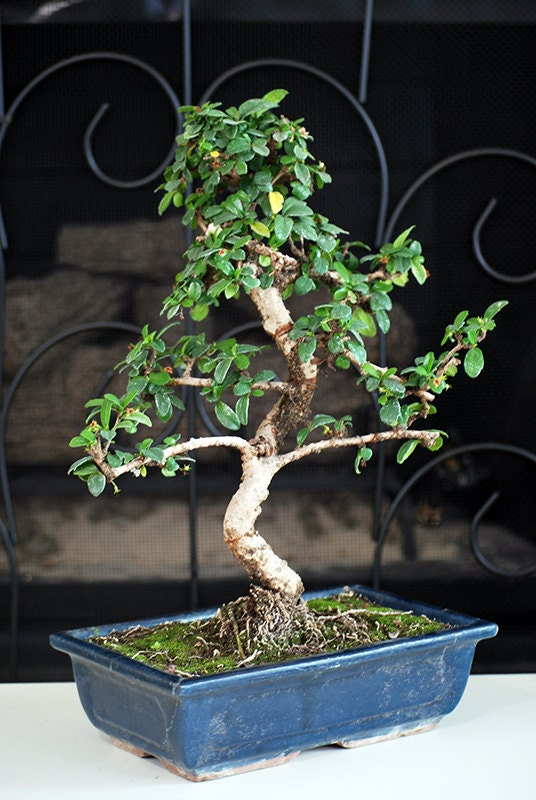Live Large Fukien Tea Tree Bonsai 10 Ceramic Vase Free