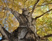 Autumn Birch - 8x10 Color Print Nature Fine Art Photography - Other Sizes Avalable