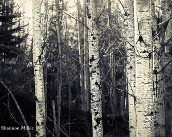 North Woods Birch
