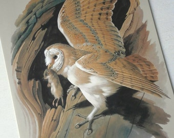 Vintage Bird Book Plate Page of Barn Owl printed 1965 Illustration