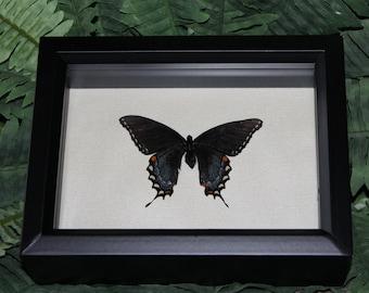 Black Swallowtail Butterfly4