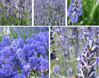 Lavender  Blue Flowers Postcards - set of 5 - FIRST CLASS