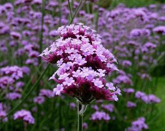 Purpletop Vervain, Verbena Bonariensis, Attracts Butterflies to Your Garden, 25 Seeds