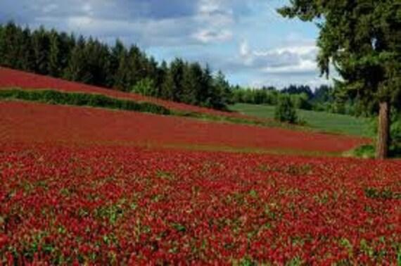 Red Crimson Clover, Attracts Hummingbirds and Butterflies, Perennial, 25 Seeds