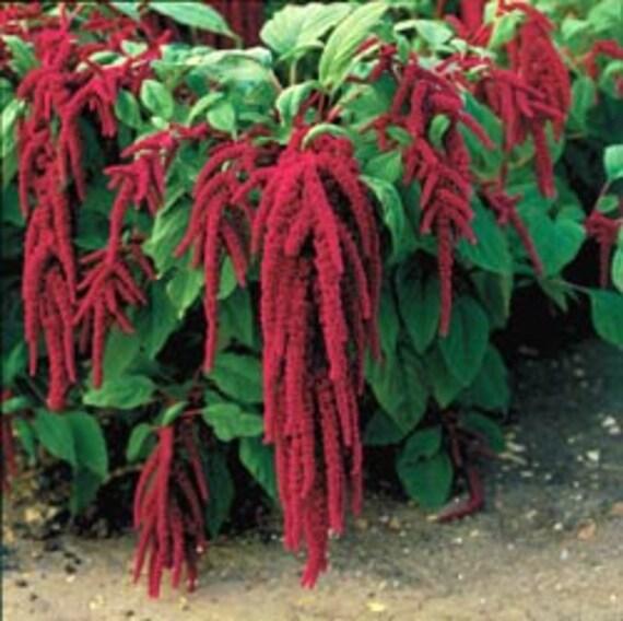 50% off! BULK, 500 Seeds, Love Lies Bleeding, Flower, Unique plant