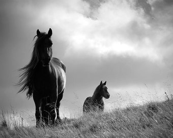 Horse photo, equine art, animal photography, black and white, fine art photo, British Fell ponies, choice of sizes