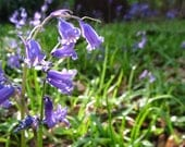 Highlighted English Bluebell in Natural Light Photo Card