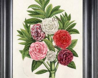 BOTANICAL PRINT HOUTTE  Botanical Art Print 5 Beautiful Balsamines in Pink White Red Flower Spring Summer Garden Plant
