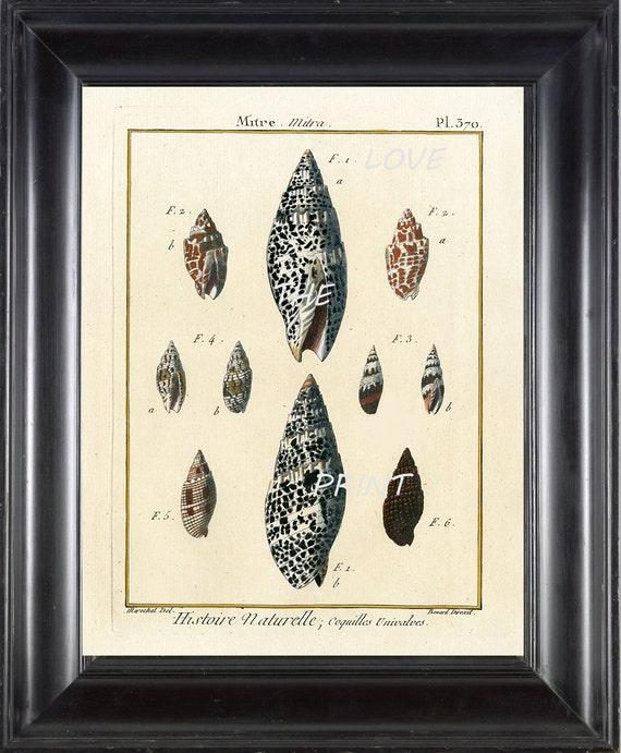 SHELL PRINT LAMARCK  Art Print 1 Beautiful Antique Mitre Shells Sea Ocean Nature to Frame Home Decoration Wall Hanging