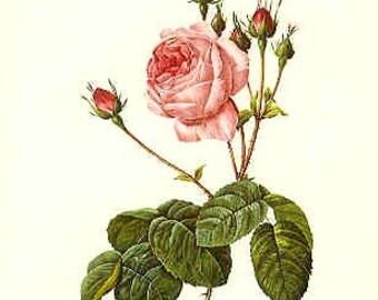 Redoute Botanical Rose Print  35