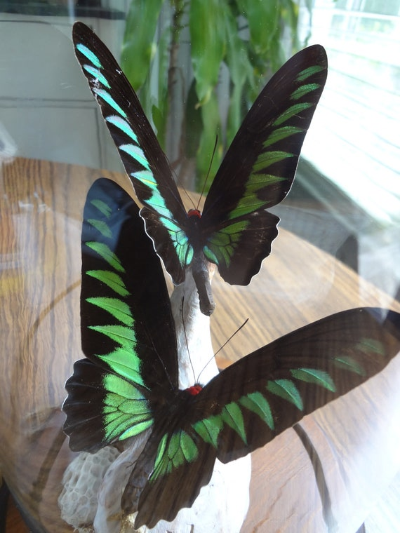 real butterflies in glass case- green and black