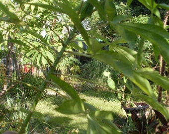 Cassava (Yuca) Tree - Three Live Branches, Easy to Grow, Decorative and Ornamental Foliage