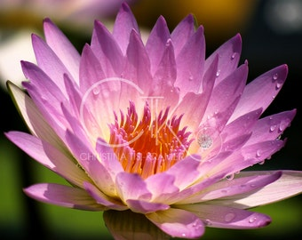 """Nature: """"Pink Water Lily"""""""