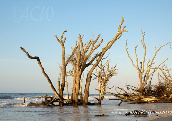 Bone Yard Beach at Botany Bay on Edisto Island South Carolina 4 (PR) (canvas)