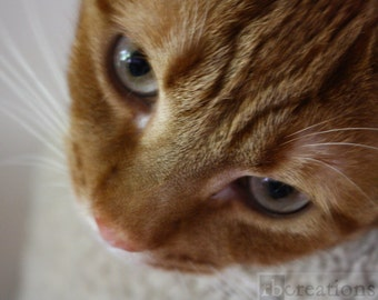 Beautiful Sweet Orange Tabby Cat Photograph Fine Art Print