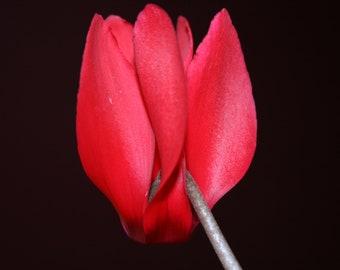 Single Red Cyclamen Blossom  8 x 10 Photograph