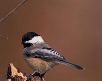 Chickadee, Black Capped, 5x7 Matted Bird Photograph, Wildlife Nature Photo, Wild Animal Wall Art Photo, Autumn