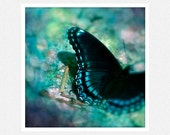 Nature Photography, teal, black, blue, butterfly, Captured, fine art photography print 8x8