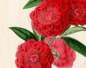 Instant Download Camellia Red Pink Green You Print Digital Image 5 x 7