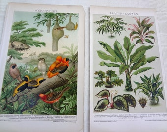 Original Botanical Prints / Vintage German Pair of  Brockhaus / Konversations