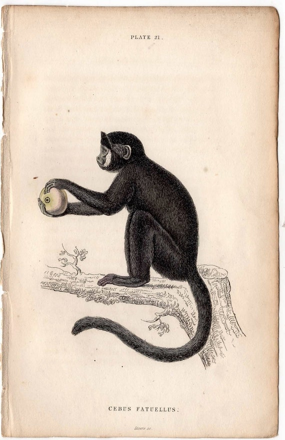 1833 monkey antique print engraving -  capuchin monkey