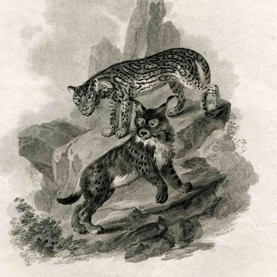 1801 OCELOT & LYNX Original Antique Animal Engraving Print